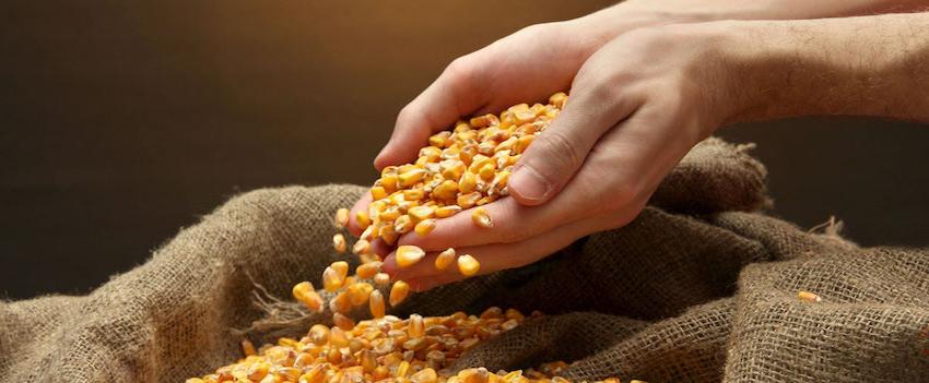 Exportações de milho elevam receita em 169,2%