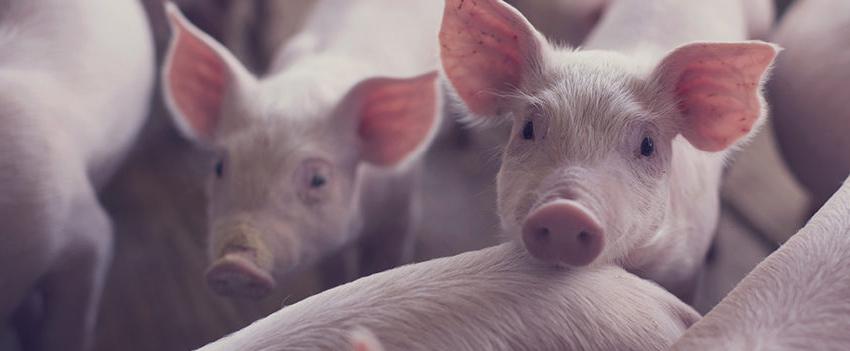 Com oferta menor preços do suínos se mantém estáveis