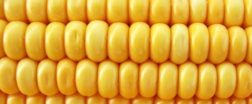 Milho fecha quarta-feira com perdas em Chicago, pressionadas pelo avanço da colheita