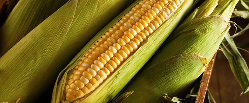 Milho abre a terça-feira em Chicago na espera dos relatórios do USDA