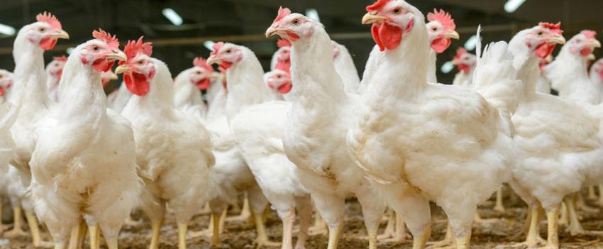 Preço do frango sobe 28% nas granjas em junho, diz consultoria