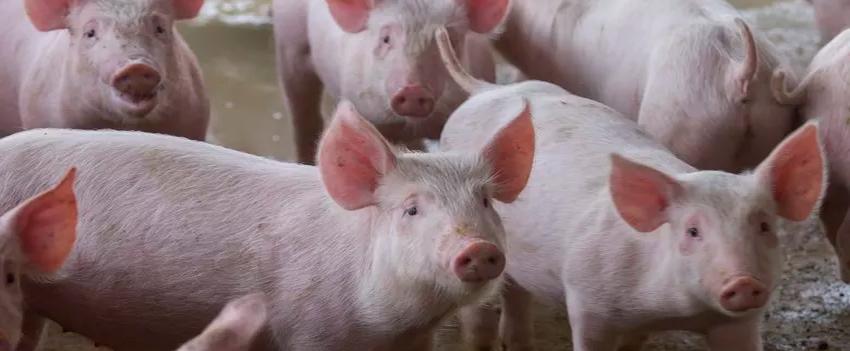 ACCS apresenta demandas da suinocultura na alesc