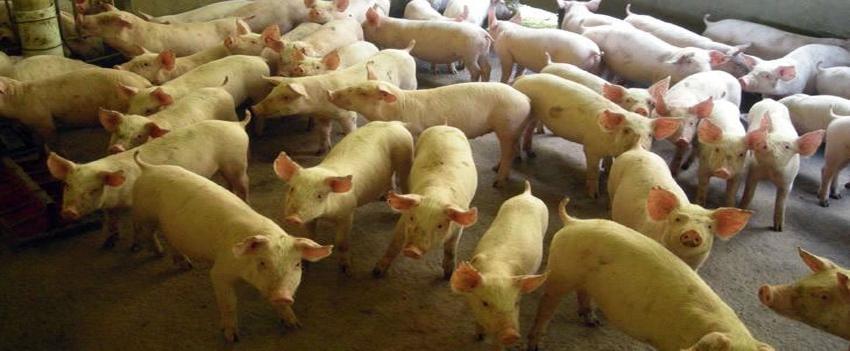 Exportações de carne suína se mantém estáveis na segunda semana
